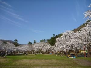 真人公園 桜2